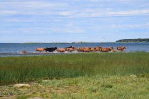 Kor som springer vid vattenbrynet vid storhamn i Harrström.