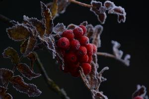 Rönnbär med frost i Jakobstad