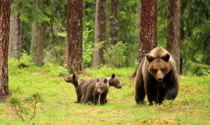 Björnhona med tre ungar