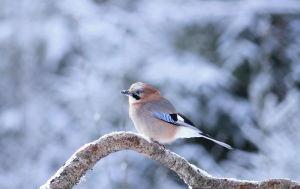 Nötskrika på gren i vinterlandskap