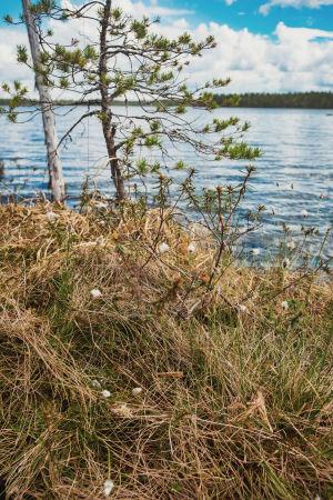 Mänty, tupasvillaa, järven rantaa