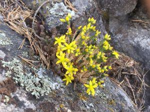 Pyöreä ryhmä keltaisia kalliokasveja kallionkolossa havunneulasten ja sammalen keskellä.