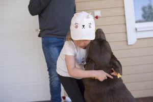 En liten flicka fäster ett halsband kring en brun labradors hals.