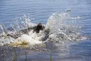 En brun labrador hoppar ner i vatten. Vattnet skvätter.