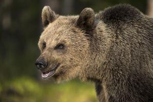 Karhu lähikuvassa.