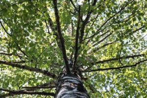 Trädkronan av en björk en solig sommardag, fotad underifrån.