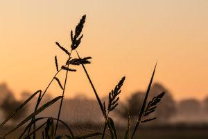 Spindelnät i vassen i solnedgången.