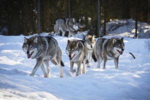Vargflock i Etseri djurpark