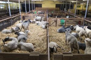 Får i inhägnader inomhus på en fårgård