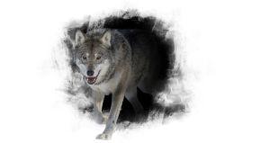 Stiliserad bild av en varg i profil. Fotograferad i Etseri djurpark.