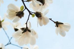 Magnolia kukassa
