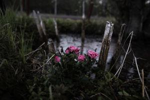 Ruusuja Levänluhdan lammella.