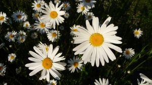 vita blommor med gul mitt