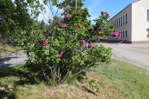 En buske som hör till en förädlad variant av rugosarosen bredvid Raseborgs stadshus.