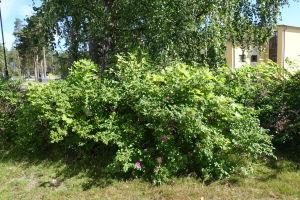 En vresrosbuske som växer på ett bredare område än de förädlade varianterna.