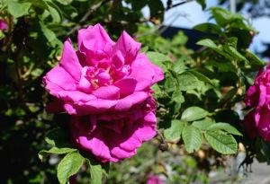 En närbild av de rosa blommorna på en variant av rugosaros, som förädlats från den invasiva arten vresros.