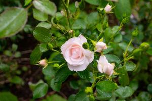 En ljusröd ros av typen Aspirin