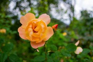 En gul ros av typen The lark ascending