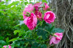 Ljusröda rosor av typen Zaiga