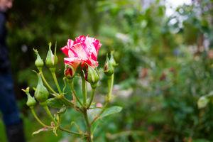 En röd- och vitflammig ros av typen Papageno.