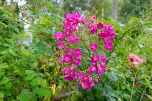 Röda rosor av typen Sibelius.