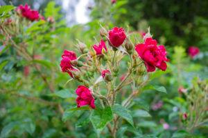Röda rosor av typen Signe Relander.