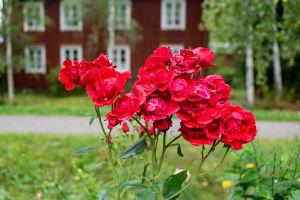 Röda rosor av typen Säde.