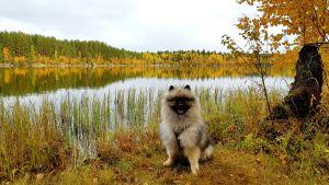 Hunden Eddie i ett vackert höstlandskap, Molnträsket, Vasa.
