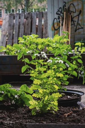 Vita blommor och andra växter som spirar ur odlingslådor.