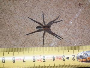 En spindel