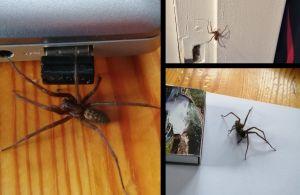Tre bilder på en stor spindel med avlång kropp och kraftiga ben.