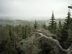 Skogslandskap med granar.