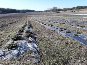 Rader av jordgubbsplantor i april 2021 på Rullarsby gård i Snappertuna.