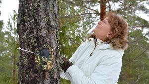 Viltkamera fastsatt på en trädstam.