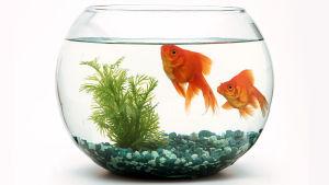 kaksi kultakalaa lasipurkissa