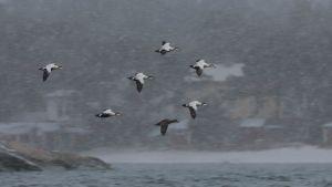 En flock ejdrar flyger i snöfall.