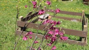 Blommande akleja i trädgård