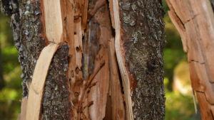 Murken trädstam med håligheter gjorda av hästmyror.