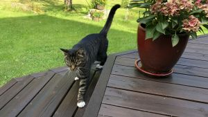 En gråbrun och svartspräcklig katt går på en brunoljad altan. Sommar och grönt gräs.