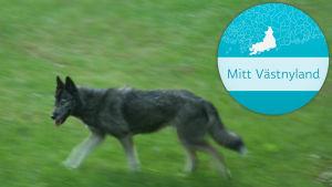 En hund som springer på en gräsmatta. I bildets högra hörn syns en logotyp där det står Mitt Västnyland.