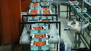 Lådor med tomater på löpande band i Närpes Grönsakers packeri