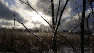 En frostig gren.