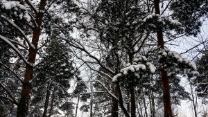 Snö på träden.