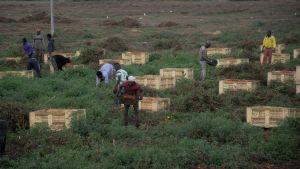 Migrantarbetare skördar tomater i Apulien i Italien.
