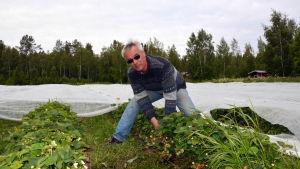 Jordgubbsodlare Jan Håkans