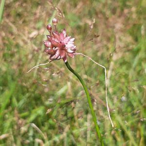 Backlök är en spetsig rosa blomma på en lång stjälk.