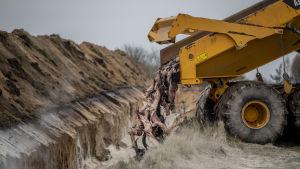 En lastbild släpper ner minkkadaver i en grav.