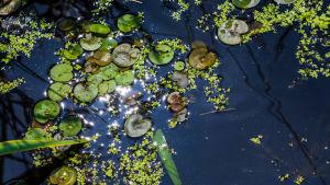 "Näckrosor i naturreservatet ""Breites Wasser"" i Tyskland."