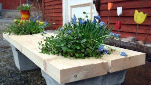 Blom- och örtbänk med pärlhyacinter.