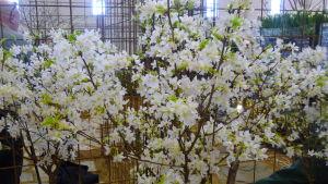 Bild av blommande körsbärsträd
